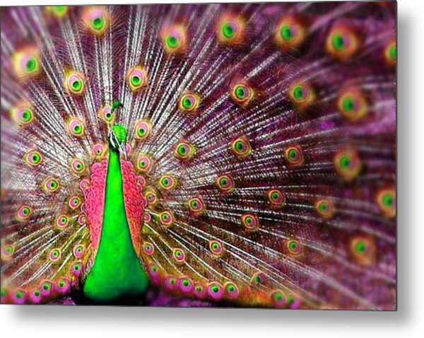 Green And Pink Peacock Metal Print by Diana Shively