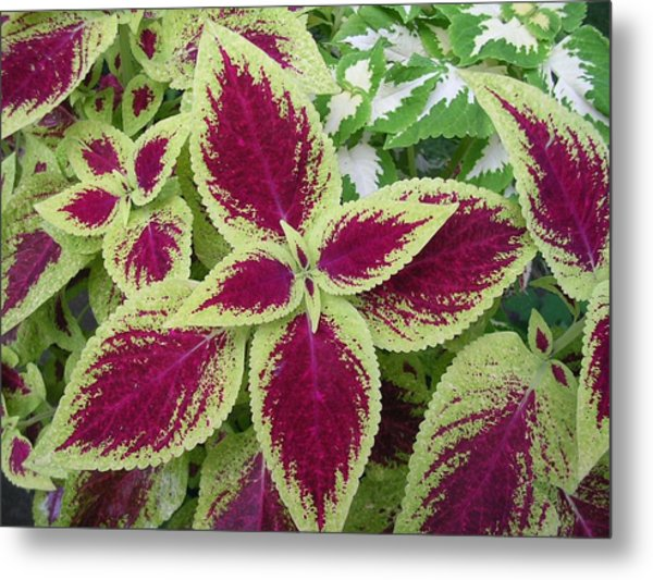Green And Purple Coleus Metal Print by Dusty Reed