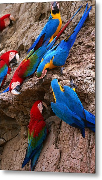 Green And Red And Blue And Gold Macaws Metal Print by Alfredo  Maiquez