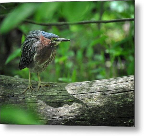 Green Backed Heron At The Swamp Metal Print