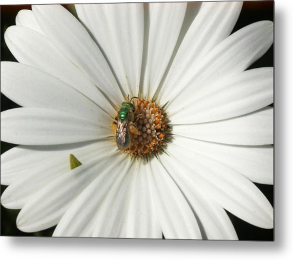 Green Fly On White Flower Metal Print