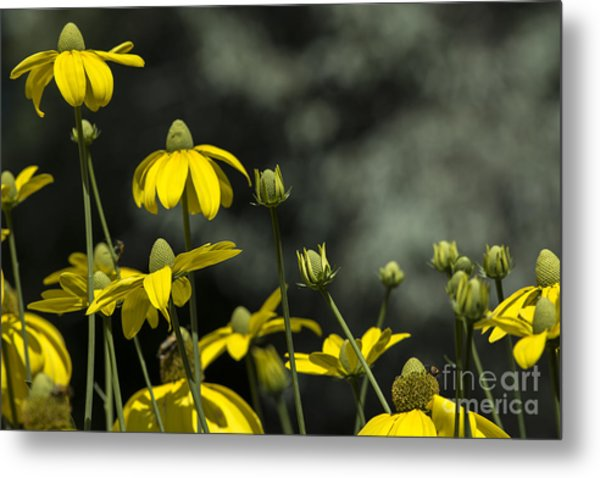 Green Headed Coneflower Metal Print