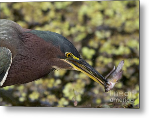Green Heron Fishing Metal Print