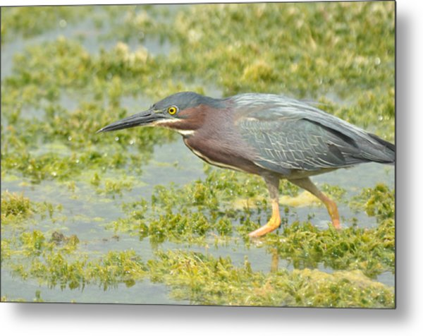 Green Heron On The Hunt Metal Print