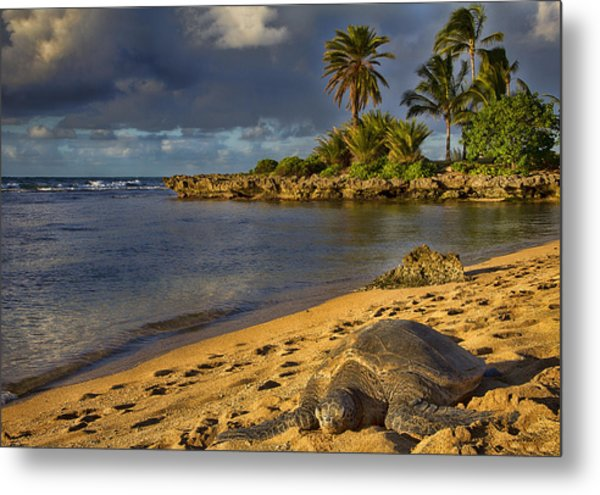 Green Sea Turtle At Sunset Metal Print