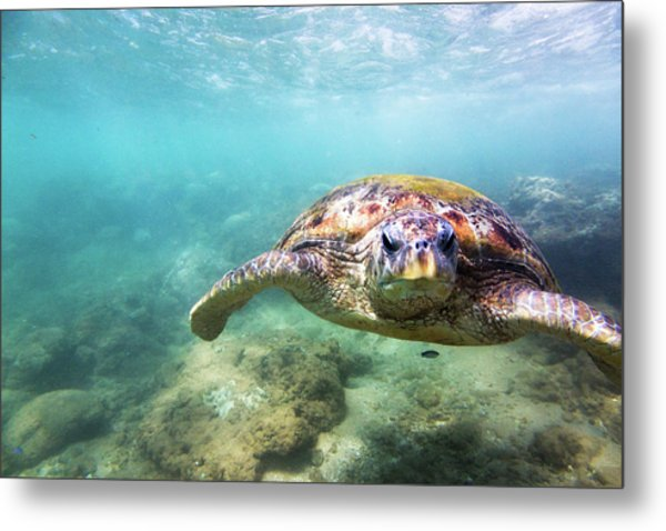 Green Sea Turtle Chelonia Mydas Metal Print by Danilovi