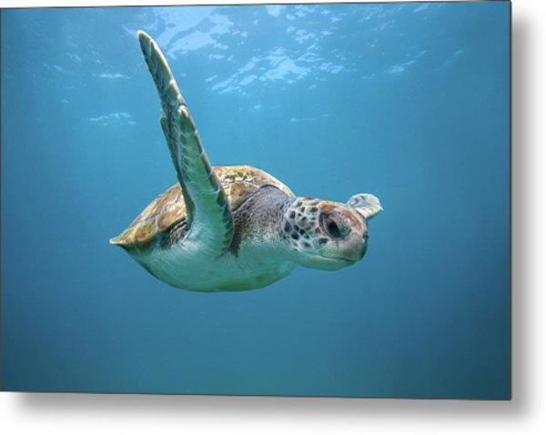 Green Sea Turtle In Canary Islands Metal Print by James R.d. Scott