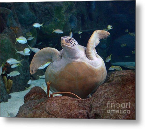 Green Sea Turtle Metal Print by Kathy Baccari
