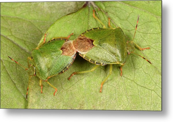 Green Shield Bugs Mating Metal Print