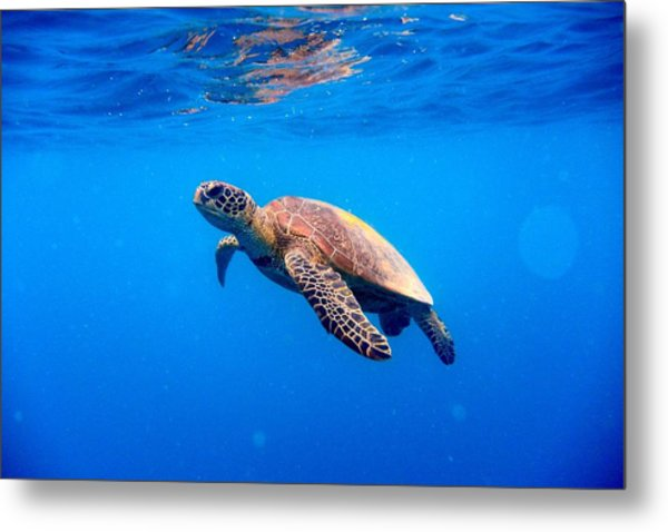 Green Turtle Approaching Water Surface Metal Print by Searsie
