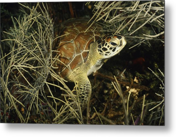 Green Turtle In Soft Corals Metal Print