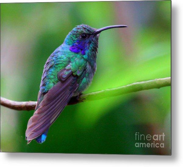 Green Violet Ear Hummingbird Metal Print