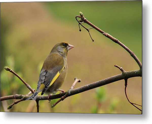 Greenfinch Metal Print by Peter Skelton