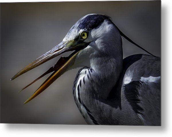 Grey Heron Profile With Open Beak Metal Print by Wild Artistic