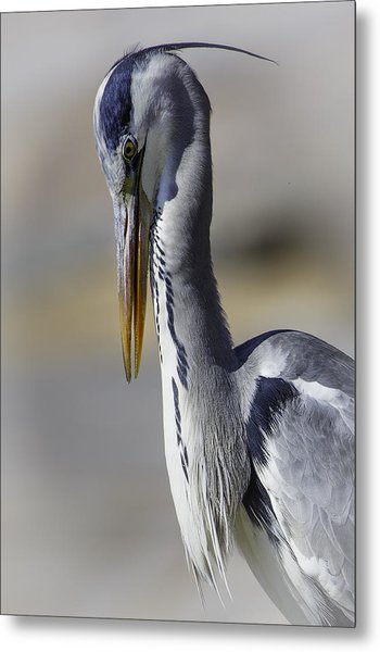 Grey Heron Profile With Soft Background Metal Print by Wild Artistic