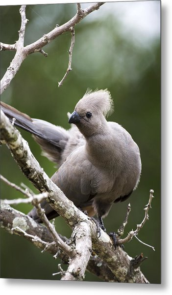 Grey Lourie/goaway Bird Metal Print by Sean McSweeney