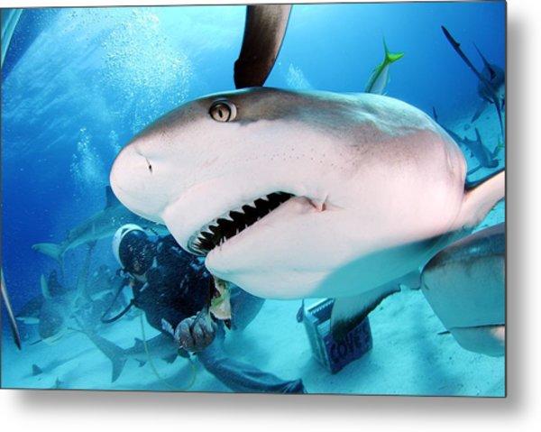 Grey Reef Shark Metal Print by Liudmila Di