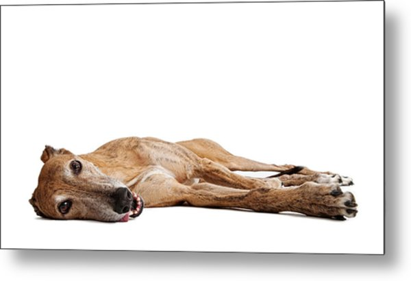 Greyhound Dog Laying Down Metal Print