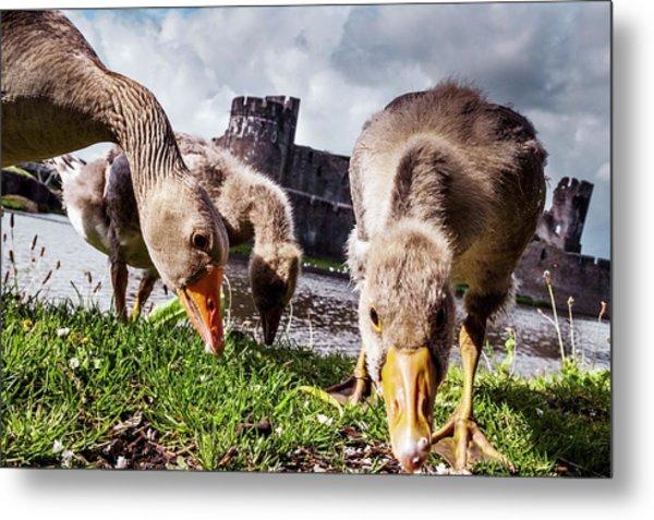 Greylag Geese Grazing Metal Print