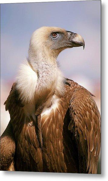 Griffon Vulture (gyps Fulvus) Metal Print
