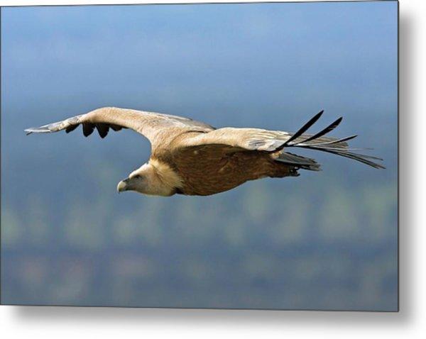 Griffon Vulture In Flight Metal Print