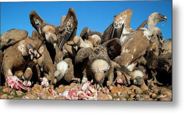 Griffon Vultures Feeding Metal Print