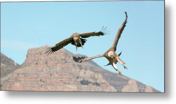 Griffon Vultures Flying Metal Print
