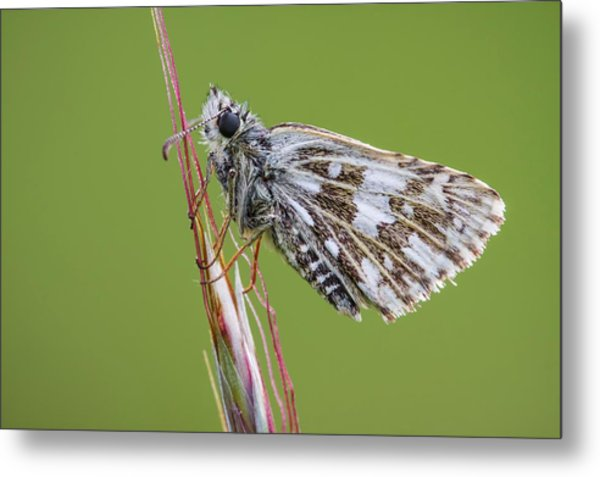Grizzled Skipper Butterfly Metal Print