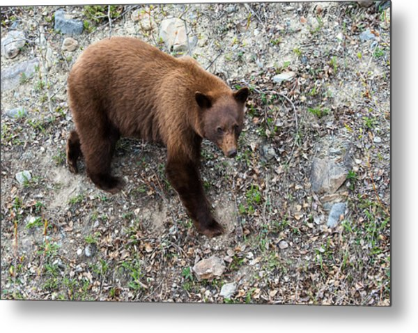 Grizzly Bear 1 Metal Print by Andy Fung