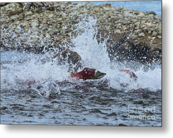 Brown Bear Chasing Salmon While Salmon Jump To Escape Metal Print by Dan Friend
