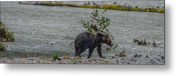Grizzly Bear Late September 5 Metal Print