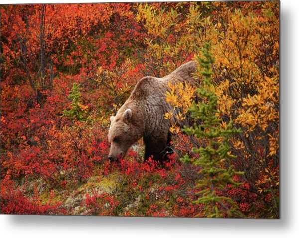 Grizzly Bear Metal Print by Piriya Photography