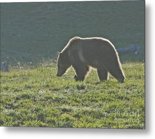 Grizzly Bear With Aura Metal Print by Bob Dowling