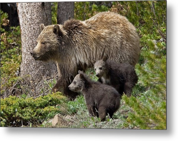 Grizzly Bear With Cubs Metal Print