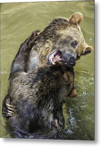 Grizzly Cubs Roughhousing Metal Print