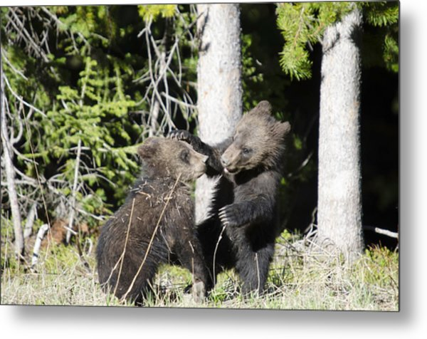 Grizzly Cubs Playing Metal Print