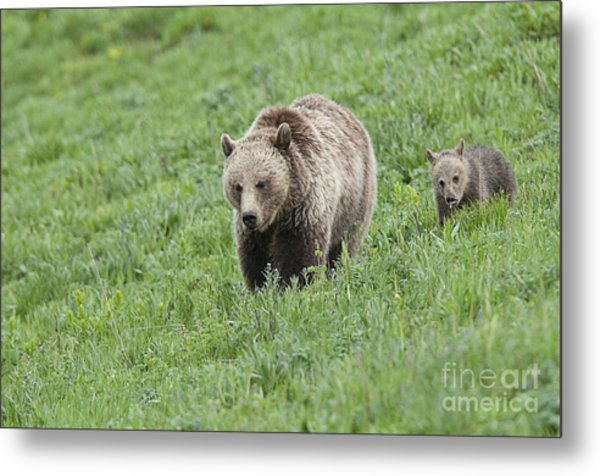Grizzly Family On Dunraven Metal Print by Bob Dowling