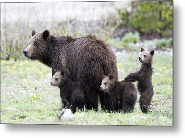 Grizzly Family Portrait Metal Print