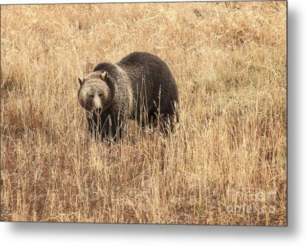 Grizzly In Autumn Meadow Metal Print by Bob Dowling