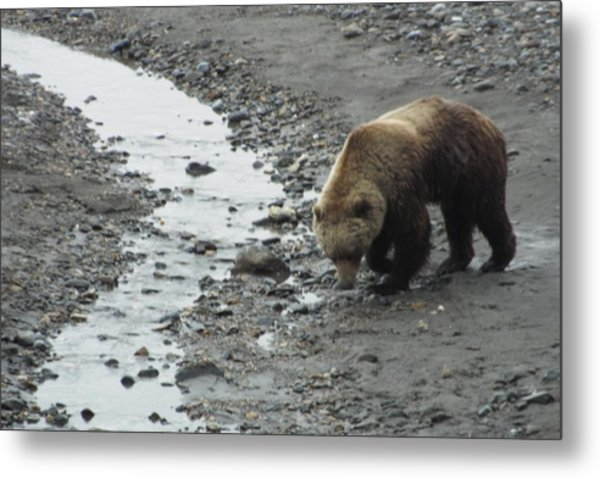 Grizzly In Denali Metal Print