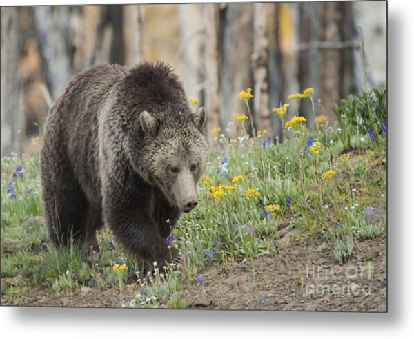 Grizzly In Spring Flowers Metal Print by Bob Dowling