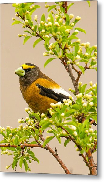 Grosbeak Metal Print
