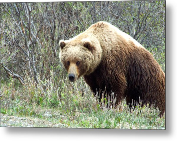 Grouchy Grizzly Metal Print