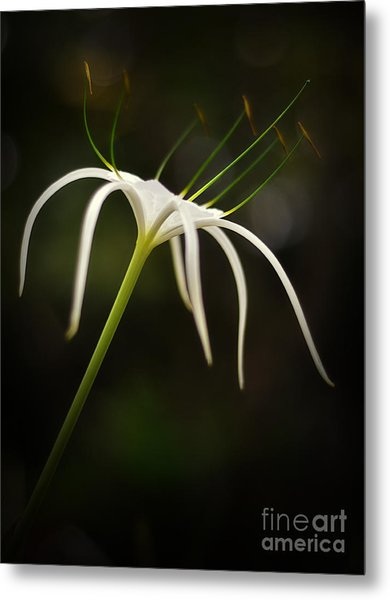 White Spider Flower Metal Print