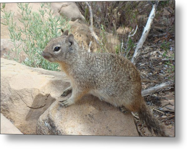 Ground Squirrel Metal Print