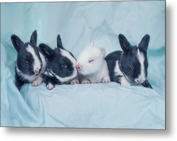 Group Of Four Newborn Baby Bunnies Metal Print by Ashraful Arefin Photography