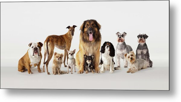 Group Portrait Of Dogs Metal Print by Compassionate Eye Foundation/david Leahy
