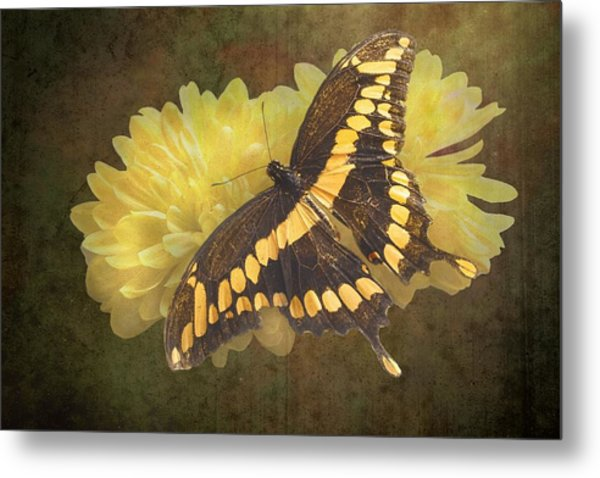 Grunge Giant Swallowtail-1 Metal Print