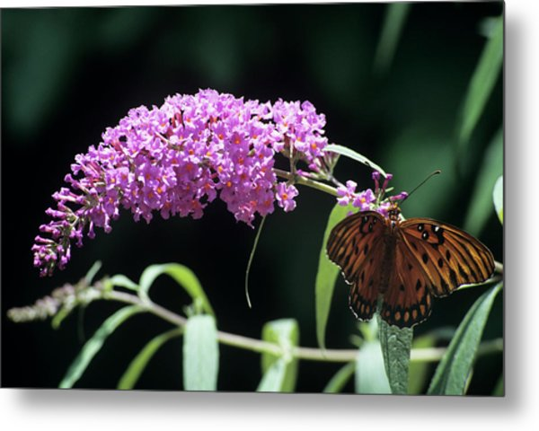 Gulf Fritillary Butterfly Metal Print by Sally Mccrae Kuyper/science Photo Library