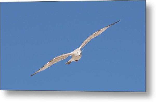 Gull In Flight - 2 Metal Print